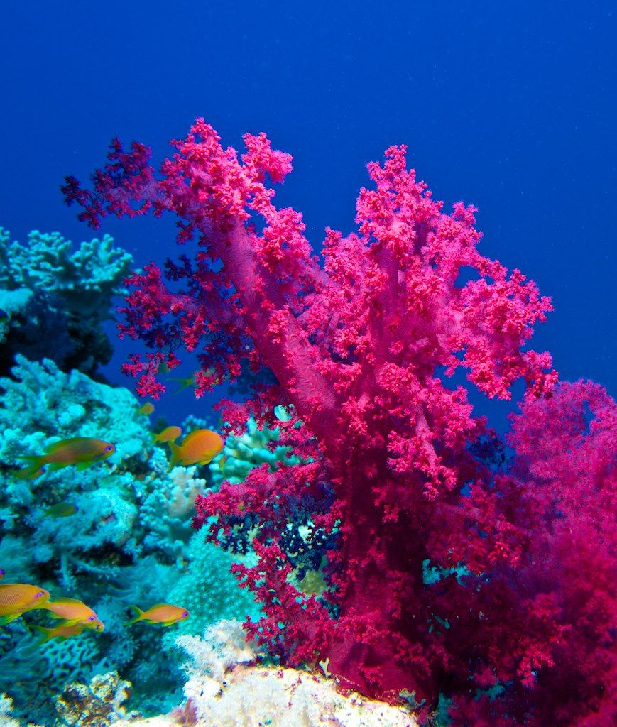 Pretty Coral  Nature ASTOUNDS Me  Pinterest  Fish Pink and Coral reefs