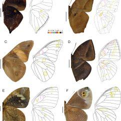 Butterfly Anatomy Diagram Network Software For Mac Wing Pattern Diversity In Brassolini Butterflies