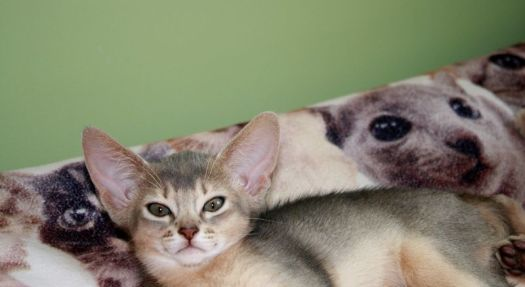 The Abyssinian, Burmese, and Egyptian Mau