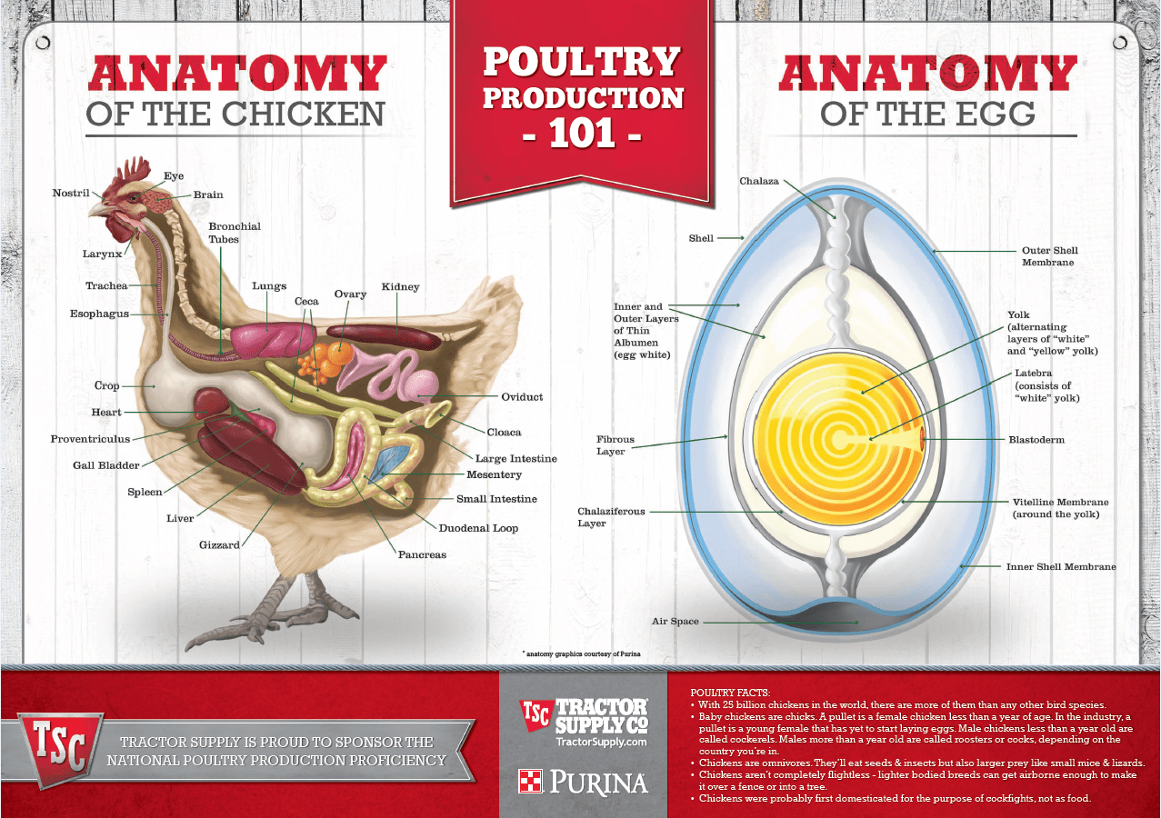 Anatomy Of The Chicken Amp Anatomy Of An Egg Educational