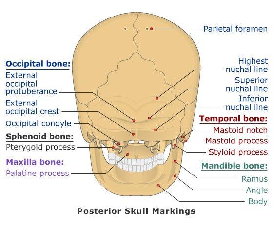 shark skeleton diagram golf 3 radio wiring external occipital protuberance superior nuchal line | www.pixshark.com - images galleries with ...