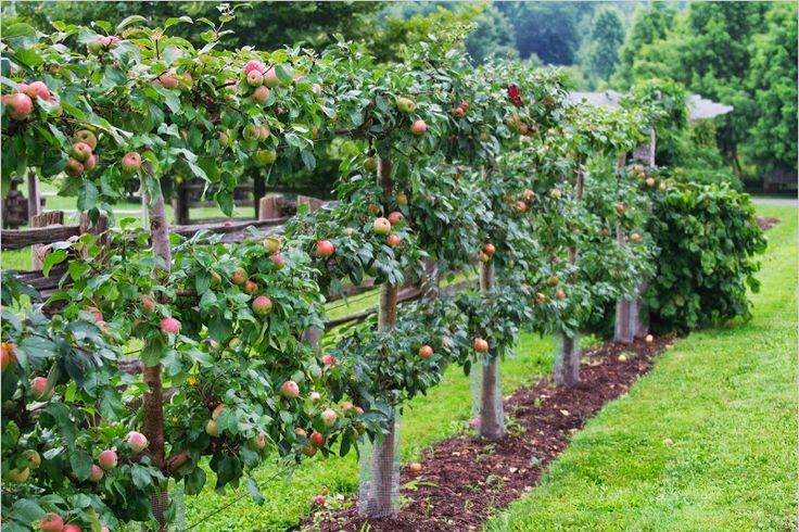 Image result for espalier apple tree