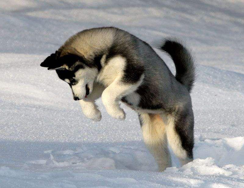 Black Siberian Husky Wolf Hybrid