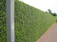hedged walls | hedge  some of it rising from the top of a ...