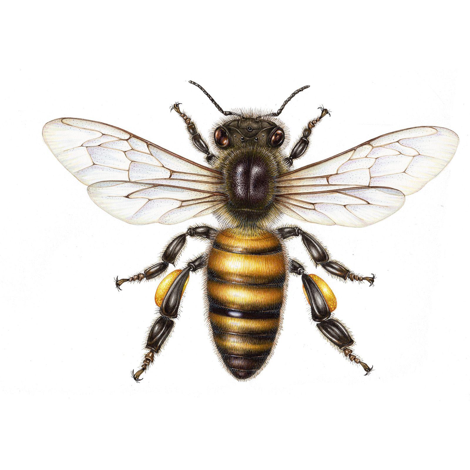 diagram of a queen bee 1979 pontiac firebird wiring scientific illustration honey medical