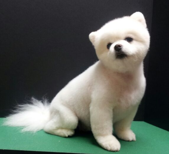 Grooming Cut Puppy Pomeranians