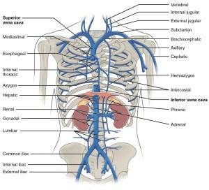 brachiocephalicvein | This diagram shows the veins