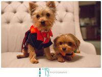 Dog Halloween costumes, yorkshire terrier, yorkie, puppies ...