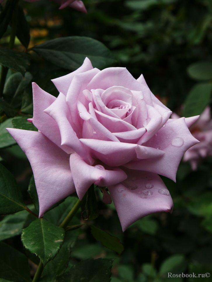 Hybrid Tea rose Mainzer Fasnacht Blue Moon Sissy Blue