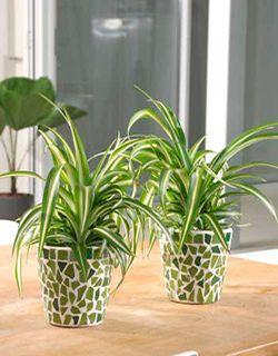 tambin est comprobado por la nasa que es una de las mejores plantas por ellos se recomienda para los interiores y zonas ntimas