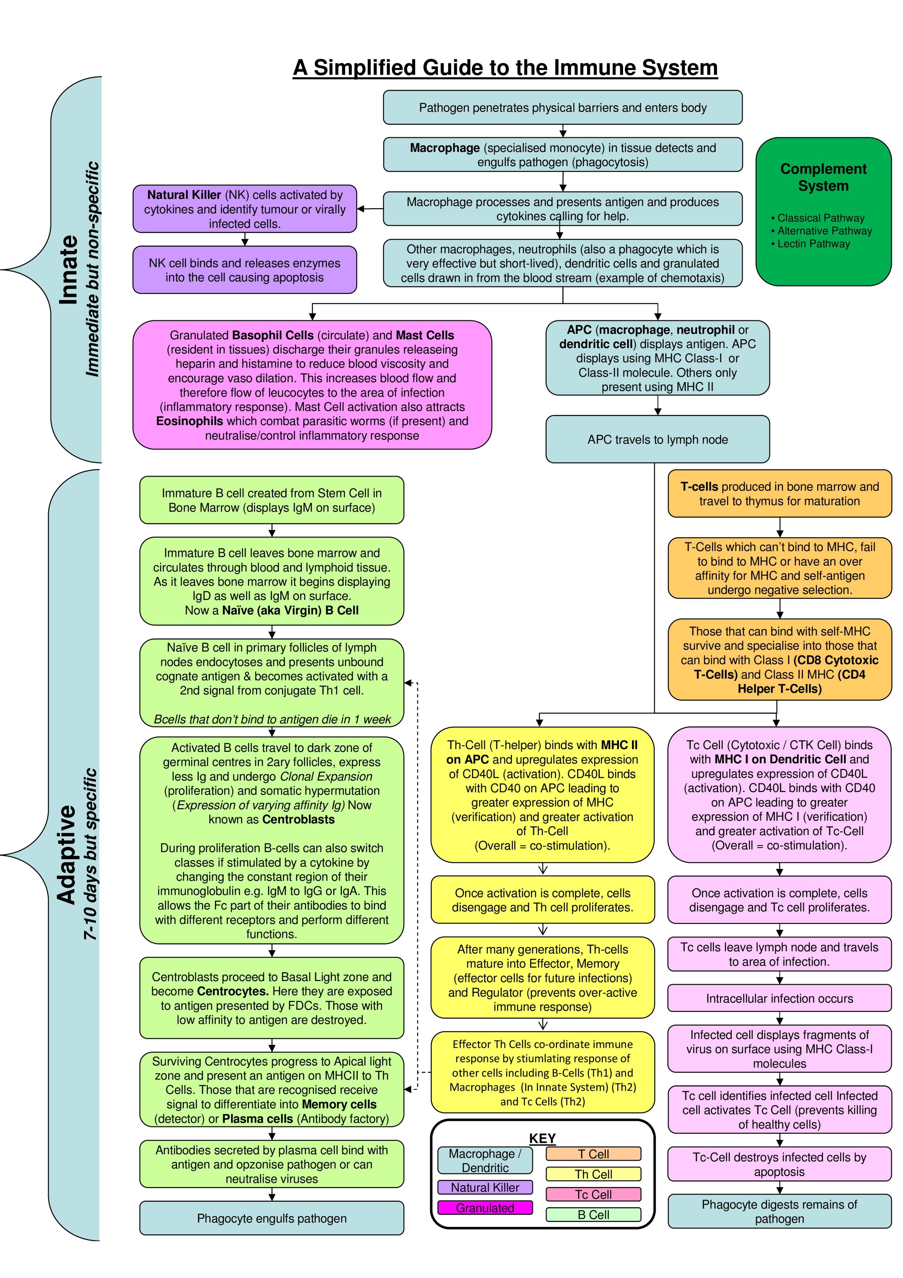 Immune System Flowchart