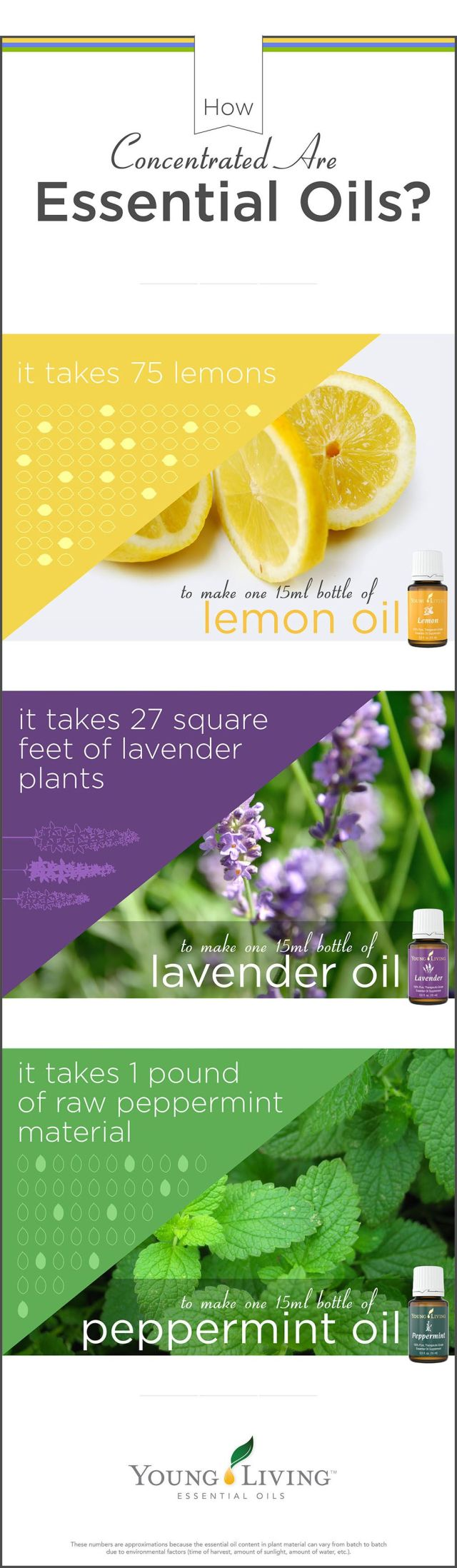 How concentrated are Young Living Oils?