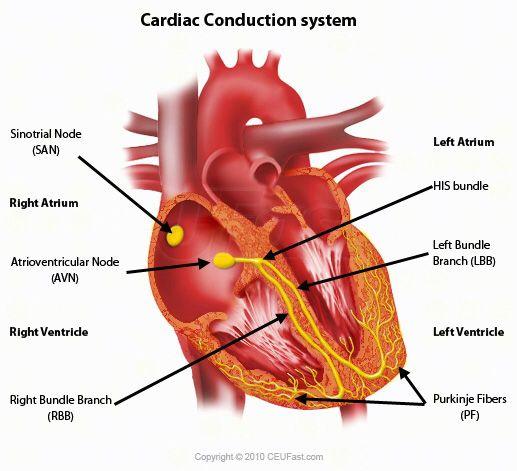 Cardiac Conduction System Sinoatrial Node SA Atrioventicular