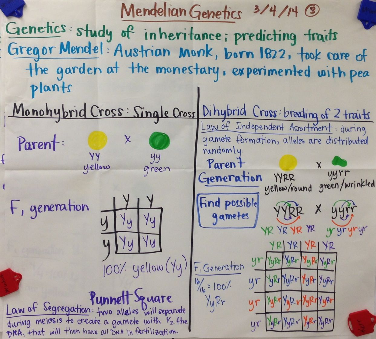 Mendelian Genetics Punnett Squares Biology Glad Anchor