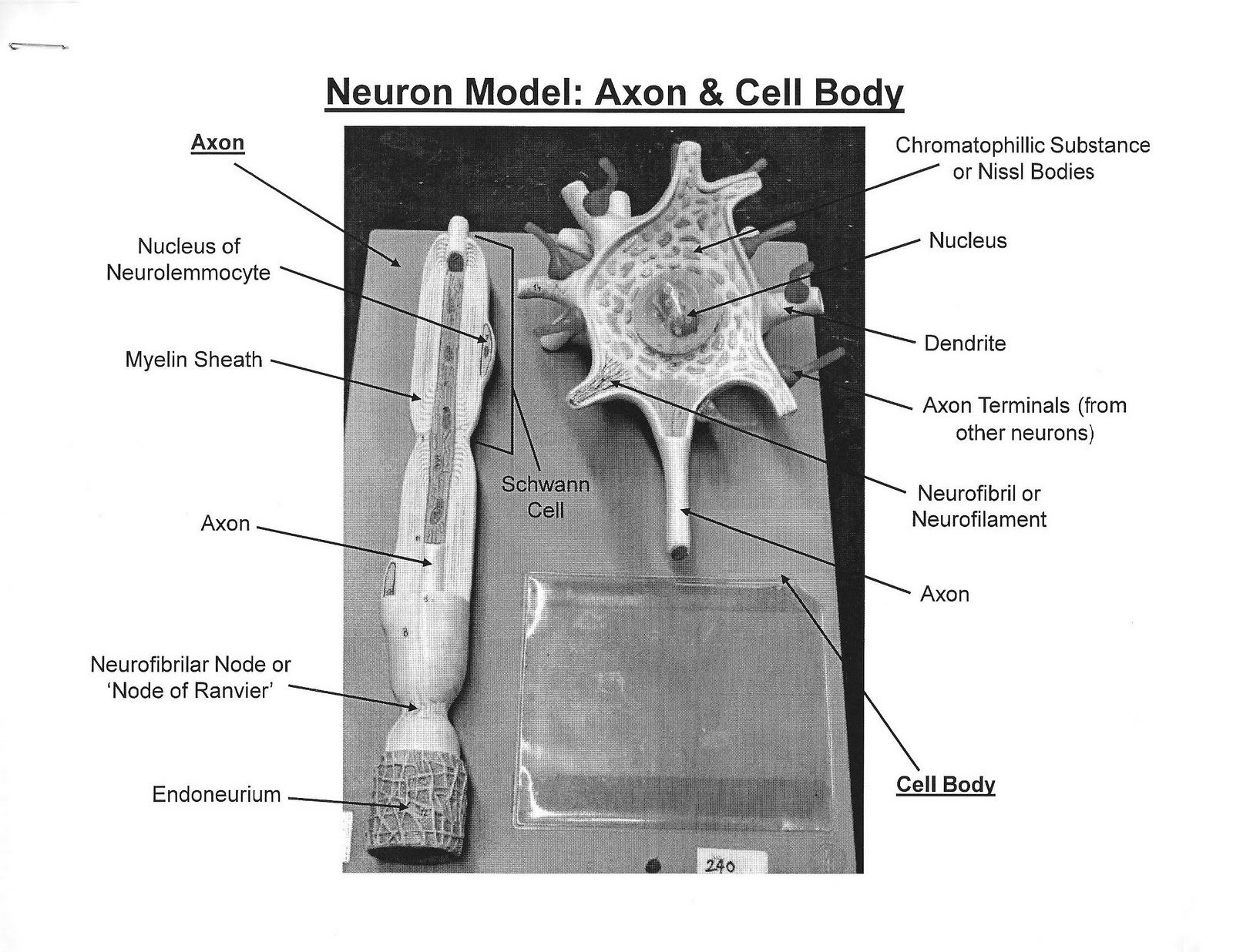 multipolar neuron diagram labeled samsung dvr wiring model bing images biology pinterest
