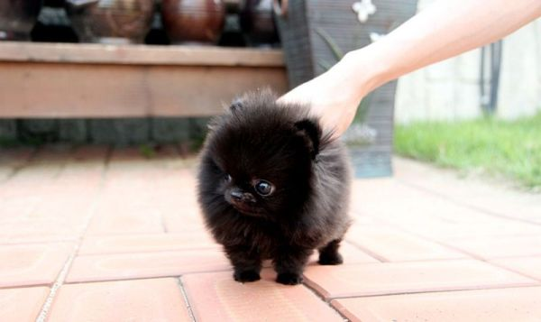Black Pomeranian on Pinterest Pomeranian Puppy White