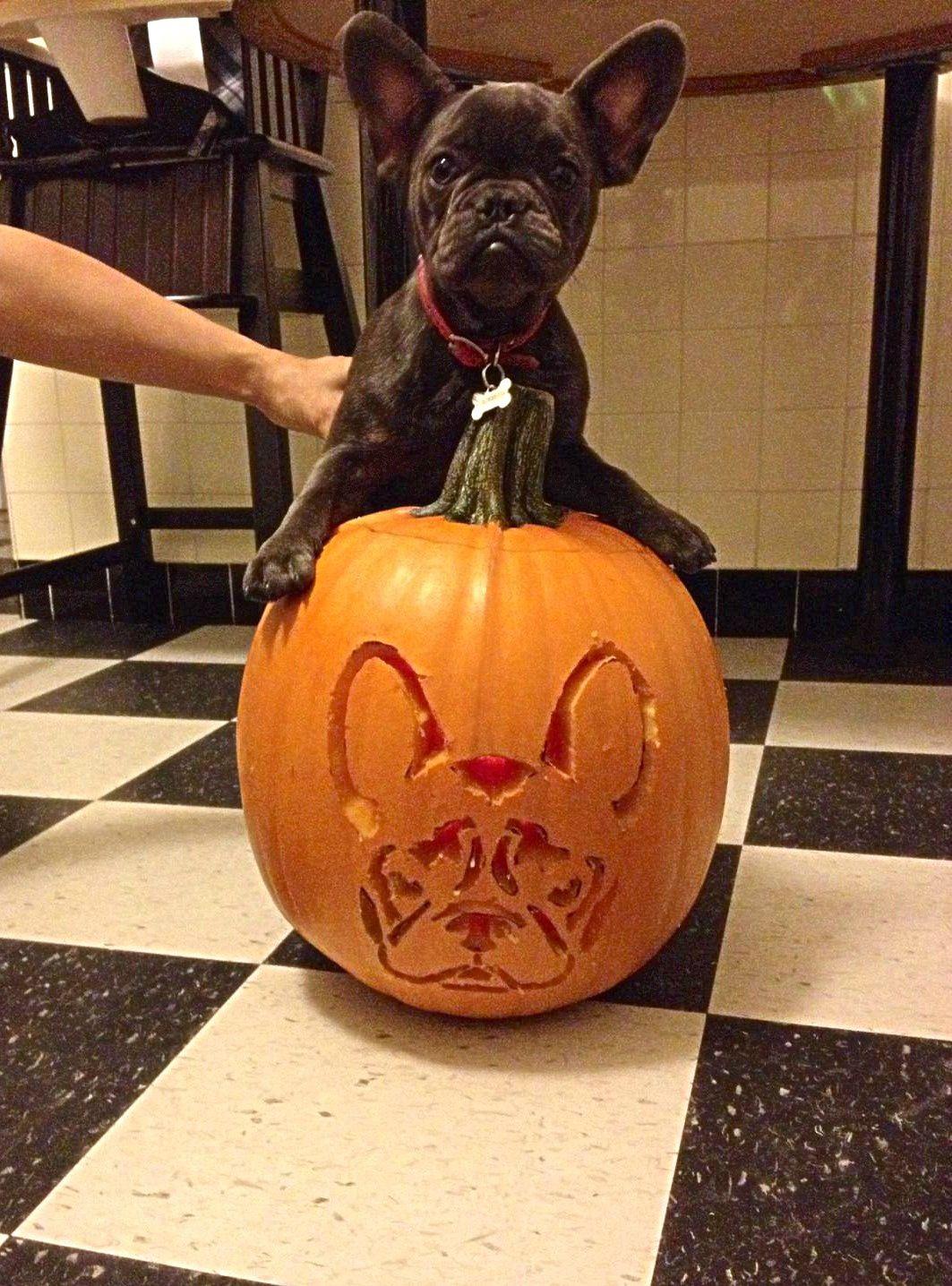 French Bulldog Pumpkin Carving For Halloween