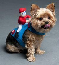 Yorkie with Jockey Costume | Yorkies, Dog and Pup