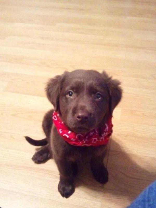 Chocolate Labrador Retriever Mix Imgurl