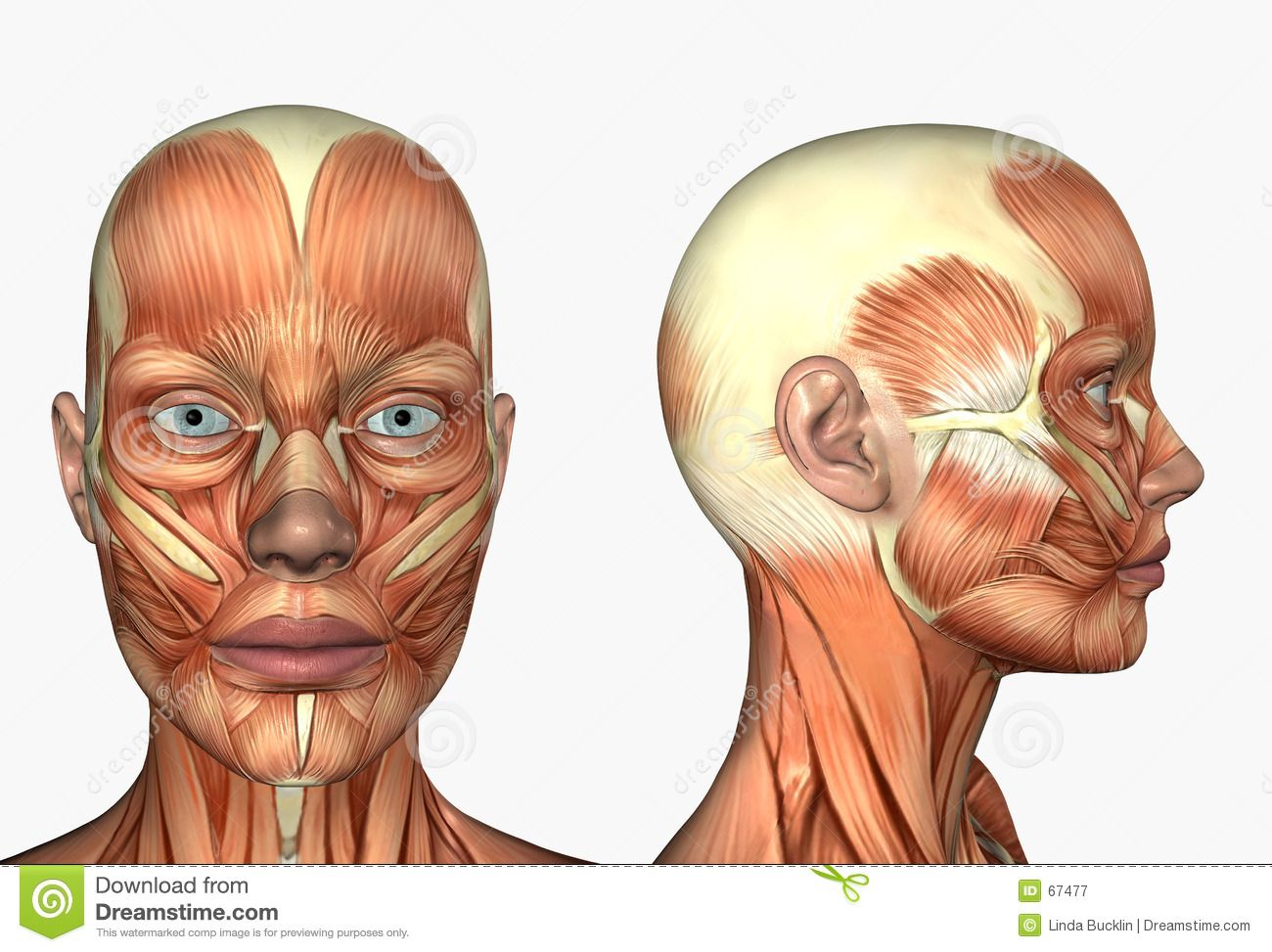 botox facial muscle diagram 2001 chevy silverado 1500 headlight wiring lateral side face muscles stock photo image