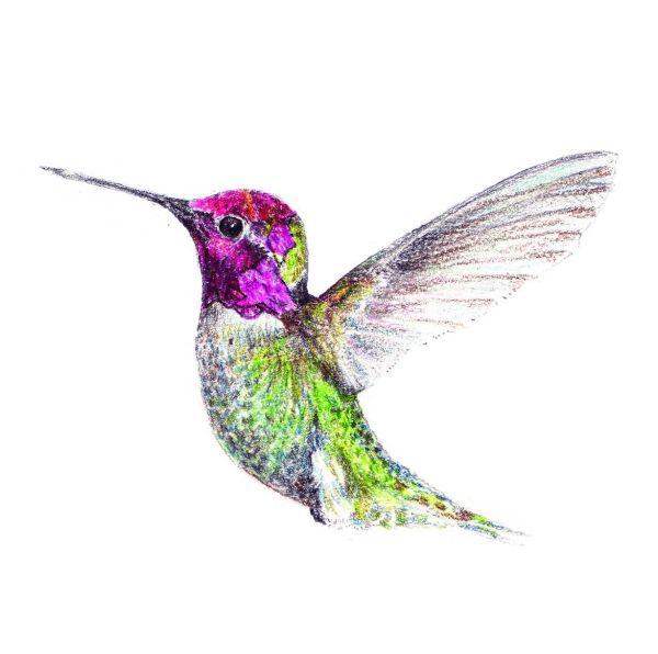 Hummingbird Drawings Drawing 69280 Zwallpix Art