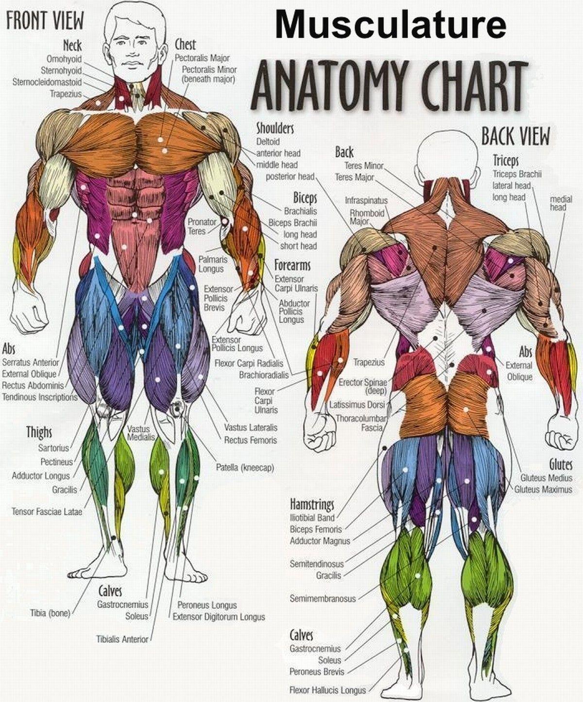 Muscle Anatomy Inner Thigh Inner Thigh Muscle Anatomy