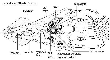 squid dissection http://pleasanton.k12.ca.us/avhsweb/thiel