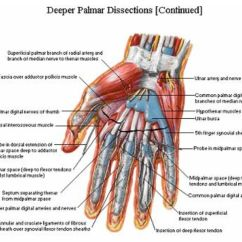 Palmar Hand Muscle Anatomy Diagram Stereo Wiring Palmer Aspect Of The And Wrist Netter