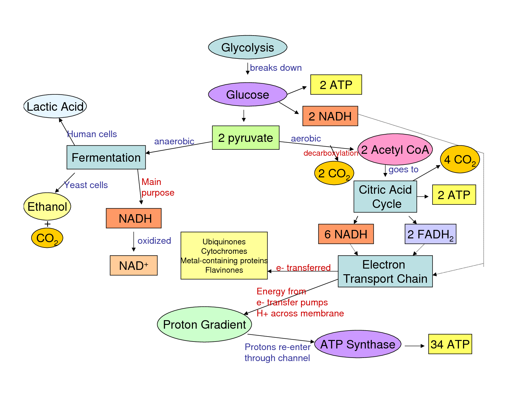 Cellular Respiration Flow Chart Worksheet