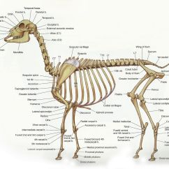 Cat Skeleton Diagram Labeled Goodman Heat Pump Condenser Wiring Png 16001273 Vet Stuff Pinterest More