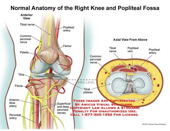 full human leg tendons diagram avital 4x03 remote start wiring anatomy of knee with nerves - google search | pain management? pinterest management
