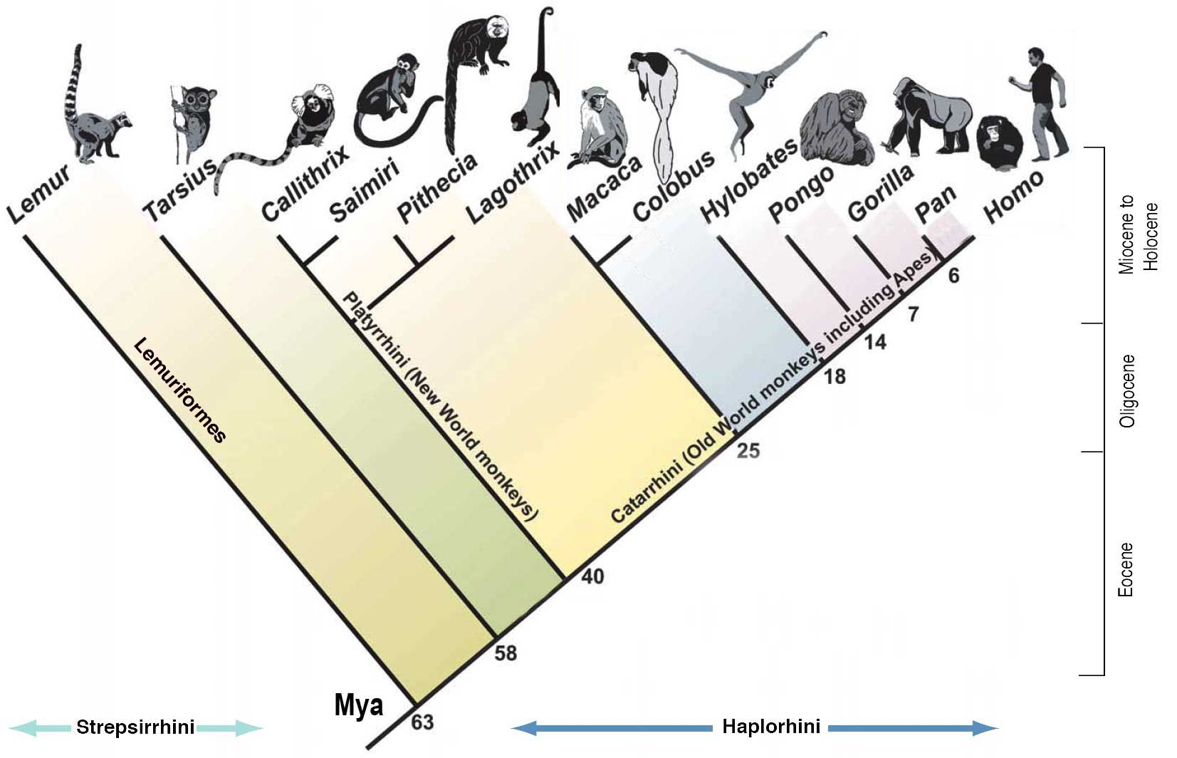 Images For Gt Phylogenetic Tree Of Primates