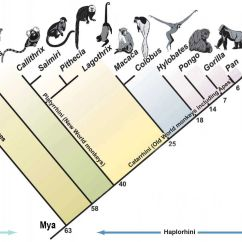 Human Evolution Tree Diagram Hertzsprung Russell Activity Images For Gt Phylogenetic Of Primates Apes