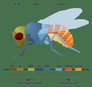 Fruit flies in the laboratory