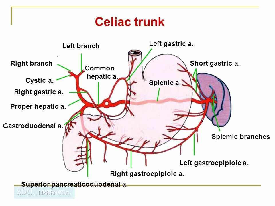 Superior Gastric Artery