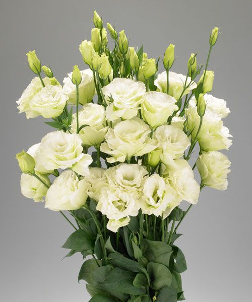 cream eustoma  Eustoma  Pinterest  Blumen