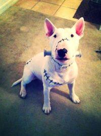 Frankenweenie costume - Titan the bull terrier Halloween ...