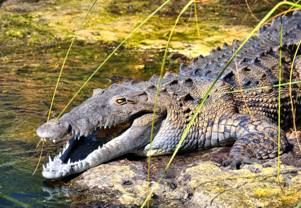ac75c7be8e150 20+ American Alligator Endangered Status Pictures and Ideas on Meta ...