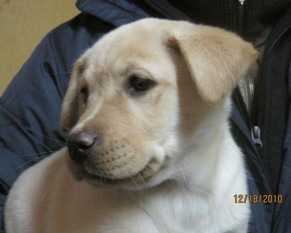 Yellow Lab Mix Puppies Imgurl