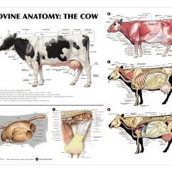 Dairy Cow Parts Diagram Layout Anatomy Vet Stuff Pinterest