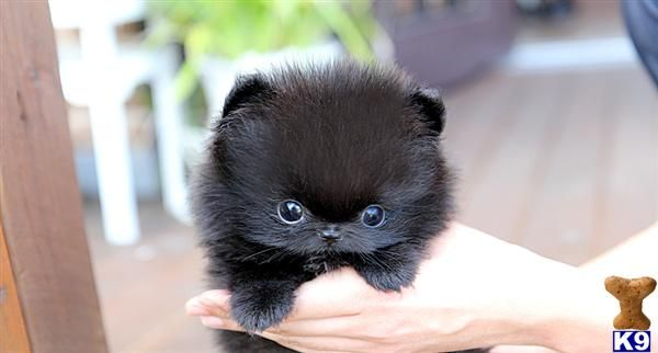 teacup pomeranian The cutest pom I have ever seen! Loves