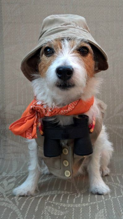 17 Costumes That Prove Jack Russells Always Win At