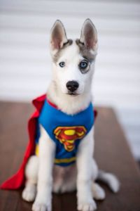 Superman husky Halloween dog costume