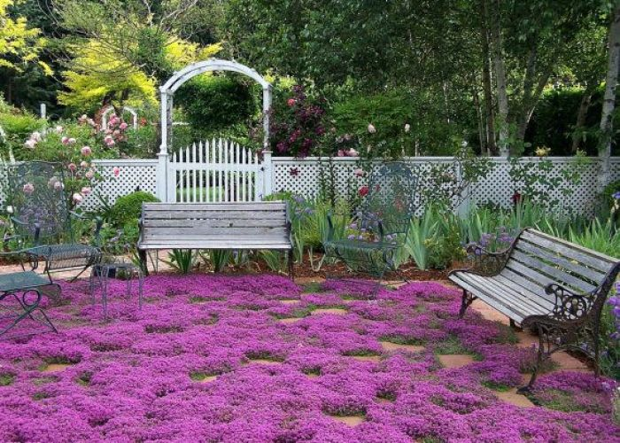 Creeping thyme ground cover seeds fragrant herb perennial zones to sun or light shade deerproof thymus serpyllum also in