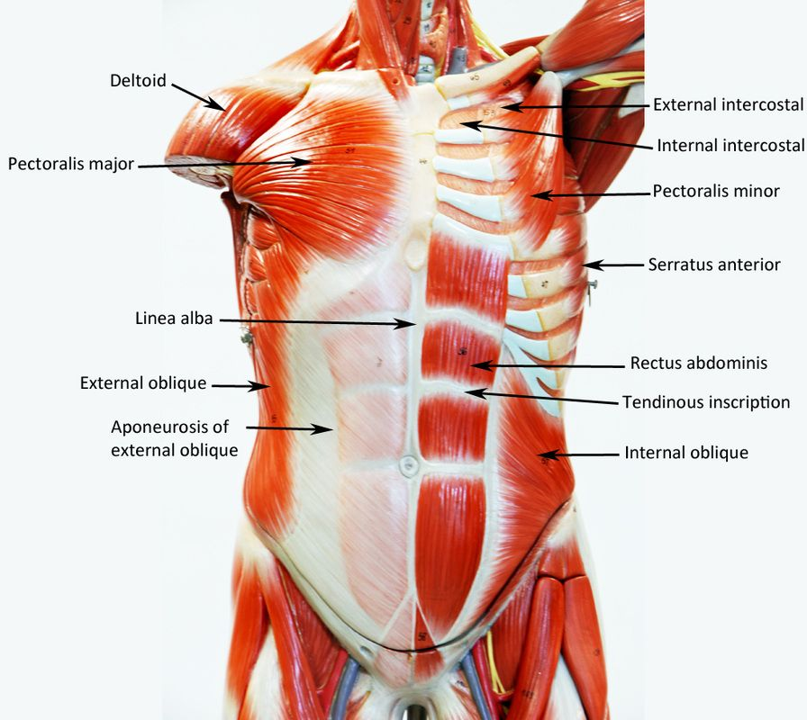 lower leg nerve diagram 1990 fleetwood rv wiring male muscle figure - labeled human anatomy | muscles pinterest anatomy, and ...
