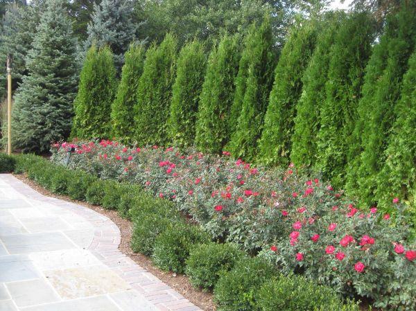 result evergreen shrub