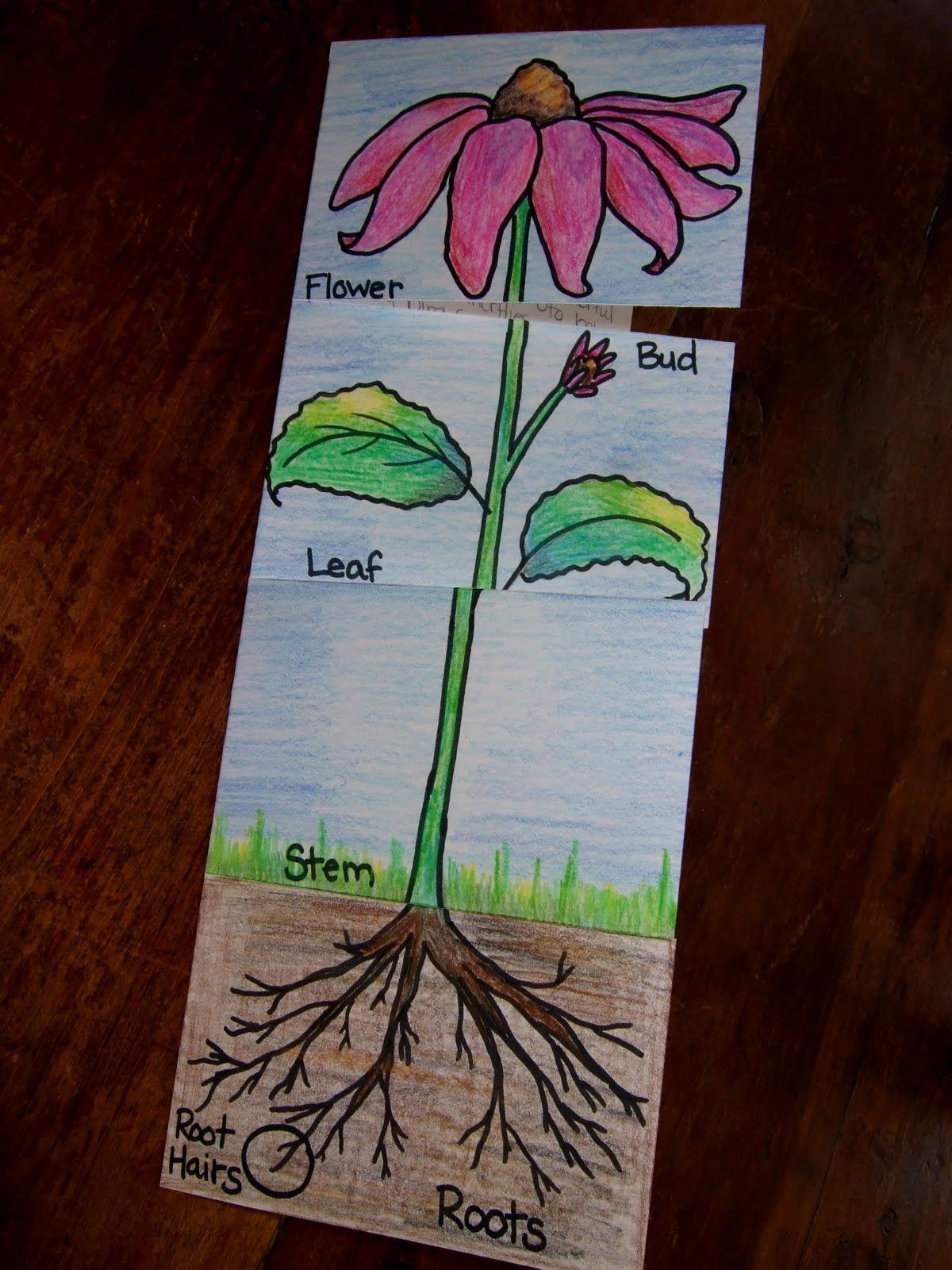 The Inspired Classroom Plant Parts And Their Jobs A Science Foldable Science