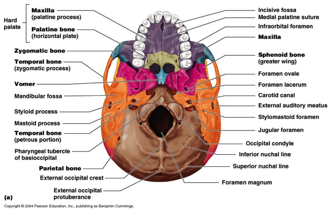 Skull Inferior View