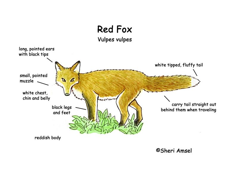 Red Fox Body Parts Labeled