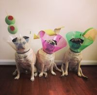 Halloween Pug Martini Costume 2014